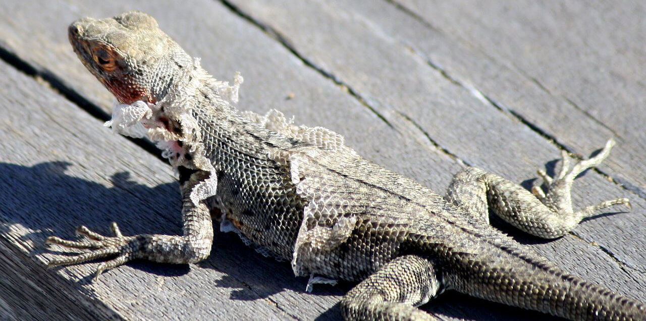 lizard-shedding