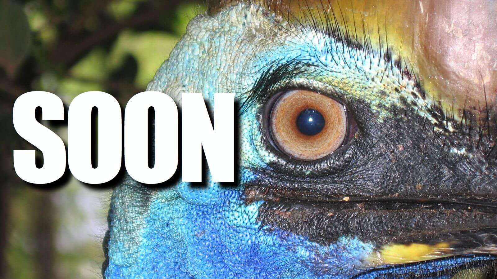 cassowary-soon
